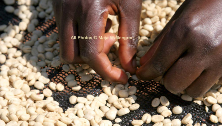 Tanzania's Coffee Average Prices Rise In Weekly Auction