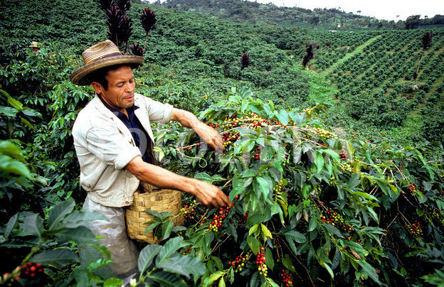Colombia Coffee Production in 2013 On Track For 9M Bags