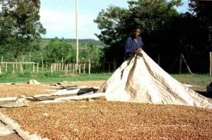 Coffee Drying in Uganda
