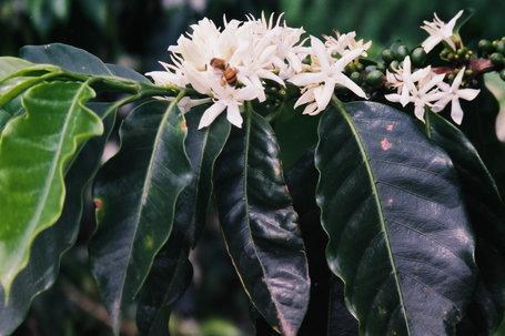Coffee of The Day: Mexico Chiapas Café La Selva Peaberry