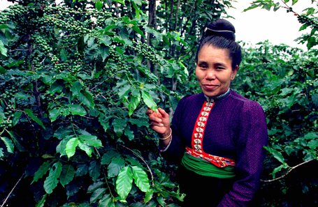 Vietnam Arabica Coffee Mostly Grown By Ethnic Minorities