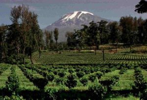 Replanted Coffee Farm at the Foot of Mt Kilimanjaro in Tanzania