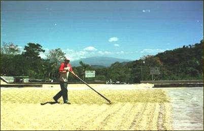 Costa Rica's Icafe Says 2013-14 Coffee Harvest Expected To Drop 20% On Rust, Low Prices