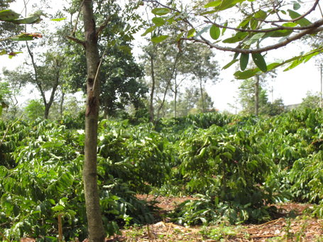 New Coffee Study Finds Rainforest Alliance Certification Promotes Healthier Streams