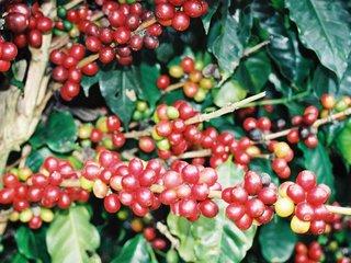 Blog do café: Blends, robustas e arábicas: Uma questão de posicionamento
