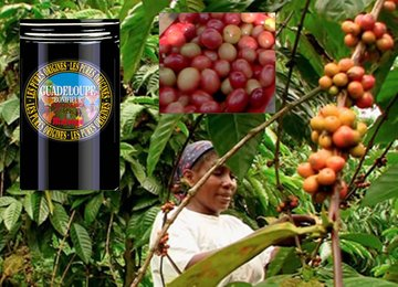"""Coffee of The Day """"Guadeloupe Bonifieur – An """"Exceptional Coffee"""" From The Oldest of Coffee Lands"""