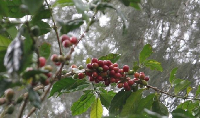 MARKET ANALYSIS: The Uncomfortable Truth For The Coffee Market After 25 Years Of Stagnated Production