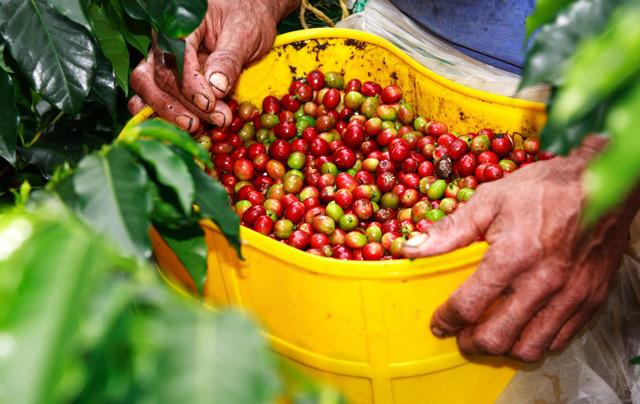 Colombia Coffee Zones Drier As El Nino Conditions Kicks In