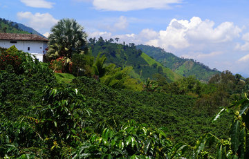 GCR–Colombian coffee's miraculous recovery