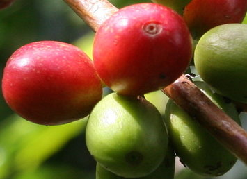 Blog de Café: La cosecha cafetera de Colombia fue de 10,9 millones de sacos al cierre de 2013