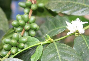 MARKET INSIGHT: Ecuador Nov Coffee Exports Down 13 Percent