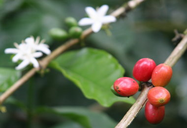 HARVEST ANALYSIS: Volcafe Cuts 2013-14 Coffee View For Brazil By 3.8M Bags, Pegs 2014-15 Down To 51M Bags