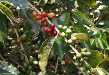 Brazil's Somar Cuts 2013-14 Coffee Crop View By 3M Bags To 51M Bags, Predicts Rain Damage In 2014-15