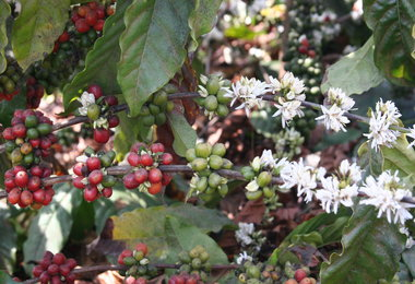 MARKET ANALYSIS: Vietnam 2013-14 Coffee Exports Down 28% To Dec 31 — Where Is The Record Crop?