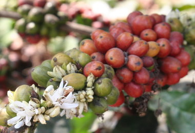 HARVEST ANALYSIS: Brazil's Conab Pegs 2014-15 Coffee Harvest Down To 46.5M-50.15M Bags