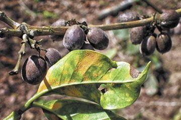 SPECIAL REPORT: Is a NEW Rust Attack Coming? Sliding Coffee Prices Are AGAIN Putting 2018 Crop At Risk For Market