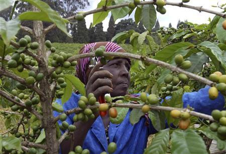 Cameroon's 2015-16 Coffee Crop Seen Down As Robusta Output Hit With Weather Problems