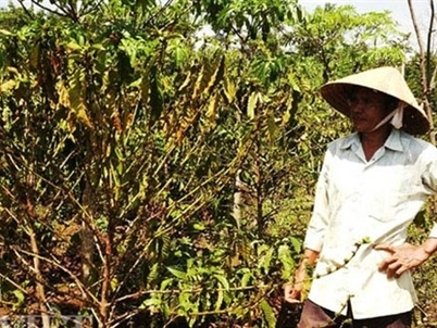 El Nino hits Vietnam's coffee output; exports run out of steam