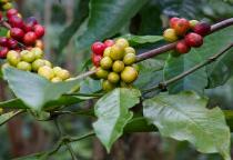 Blog de Café: Mundo enfrenta terceiro déficit na produção de café, diz OIC
