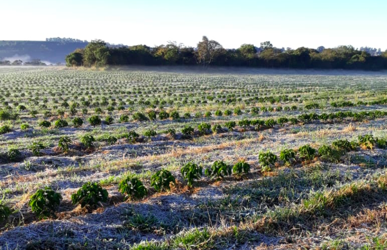 BRAZIL FROST: First Pictures Of Damage Published From Cerrado And Parana Coffee Regions