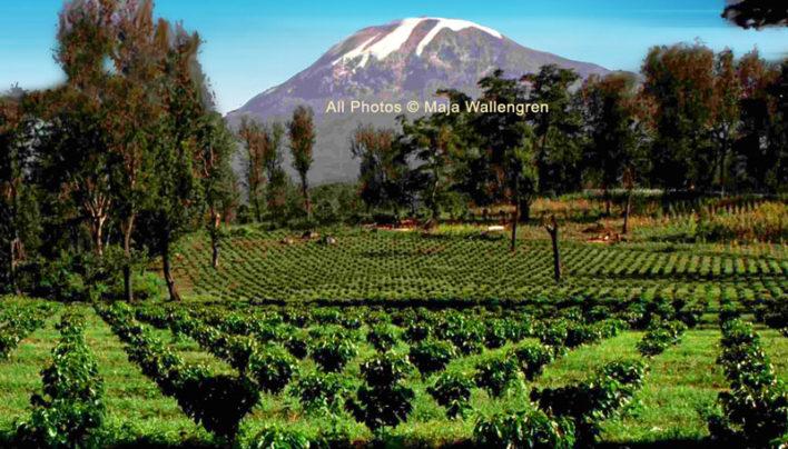 New Coffee In Tanzania at Mt Kilimanjaro