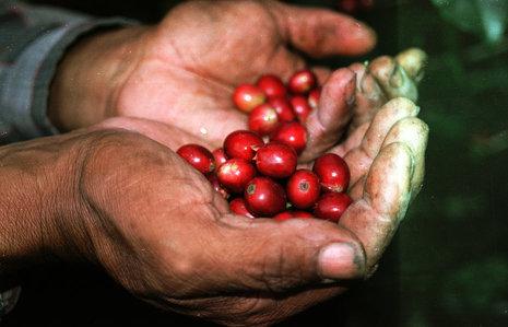 Gana $50.10 por libra productor del Café en El Salvador
