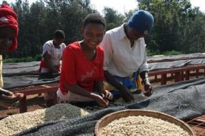 Coffee Sorting at Oldeani Estate in Tanzania