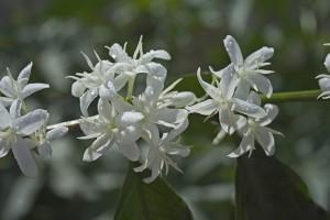 El Injerto Coffee Flowering in Guatemala Photo Courtesy of Anacafe
