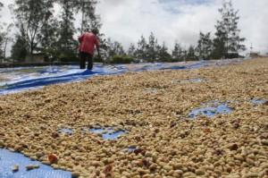 Freshly Washed Parchement Coffee in Papua New Guniea