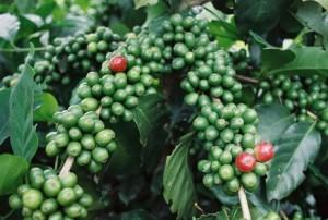 Intensive Arabica Coffee Growing in Vietnam Yielding Huge Productivity