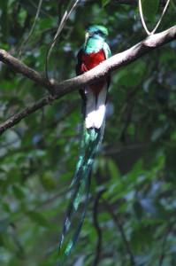 Quetzal at Finca Los Andes Photo Courtesy of Los Andes