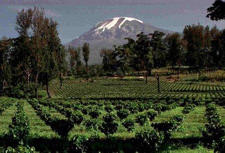 Coffee at Mt Kilimanjaro in Tanzania