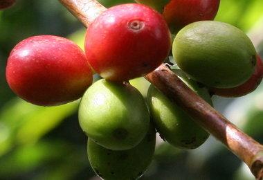 Blog de Café: Produtores no Brasil erradicam cafezais para plantar outras culturas