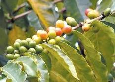 Baixa pluviosidade afeta produção de café conilon no Espírito Santo
