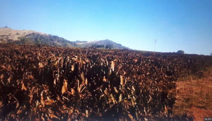 BREAKING NEWS: Frost Damage In KEY Brazil Coffee Regions, 2019-20 Crop To Suffer Losses