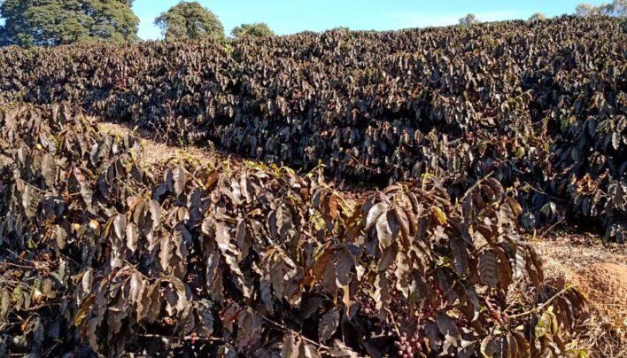 BREAKING: Brazil's Cerrado region sees 40% frost damage in some farms, 25% of TOTAL coffee area hit